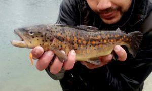 trout area - trota fario